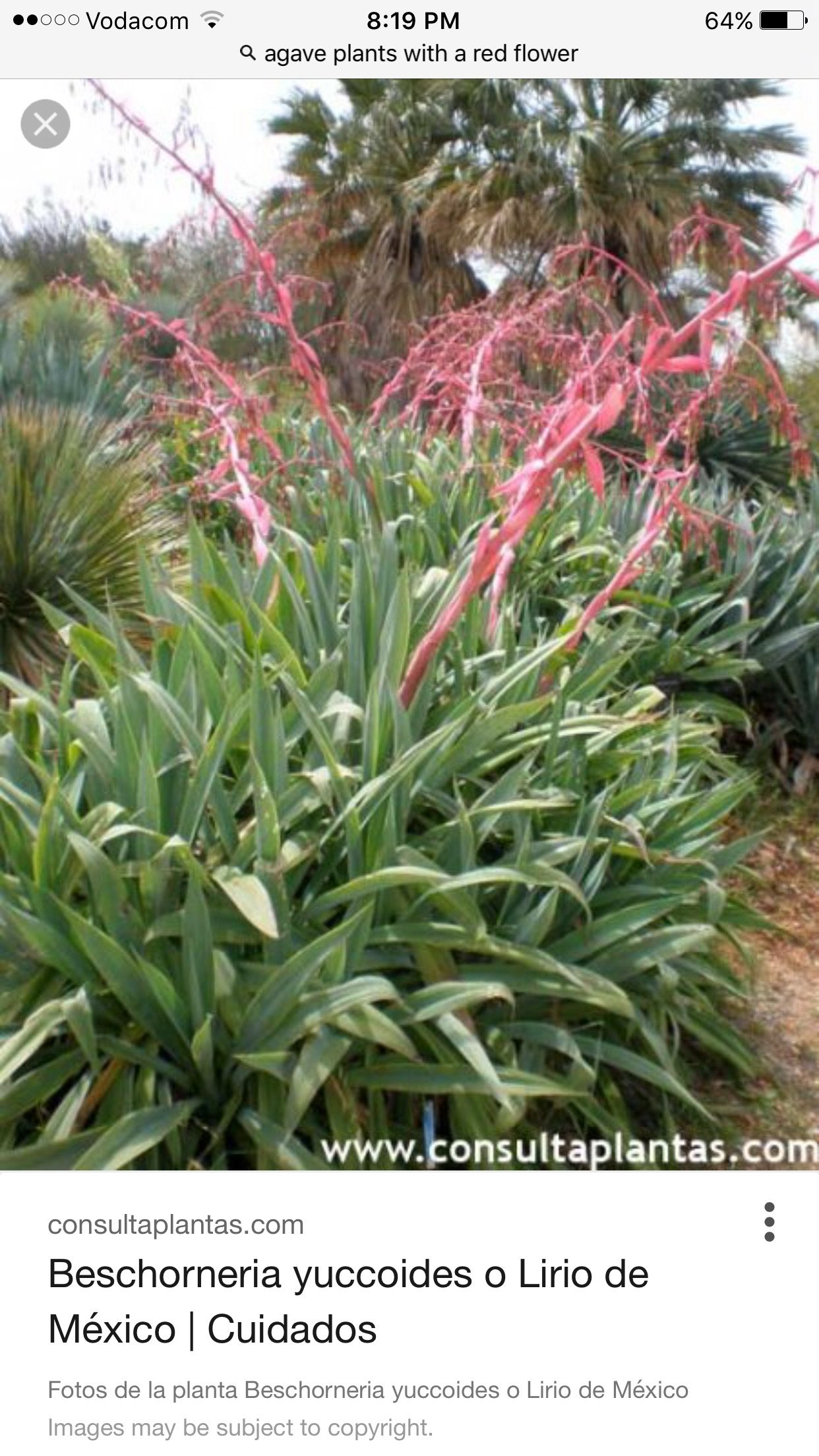 Mexican Lily Plant Agave Garden Pinterest Agaves Plants And