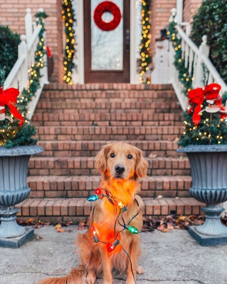 I Ll Be Home For Christmas You Can Plan On Me 7 Days Til Christmas Christmas Puppy Cute Baby Animals Christmas Dog