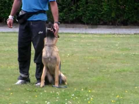 9 Month Old Malinois Clicker Training 9 Month Olds Dog Clicker Training Malinois
