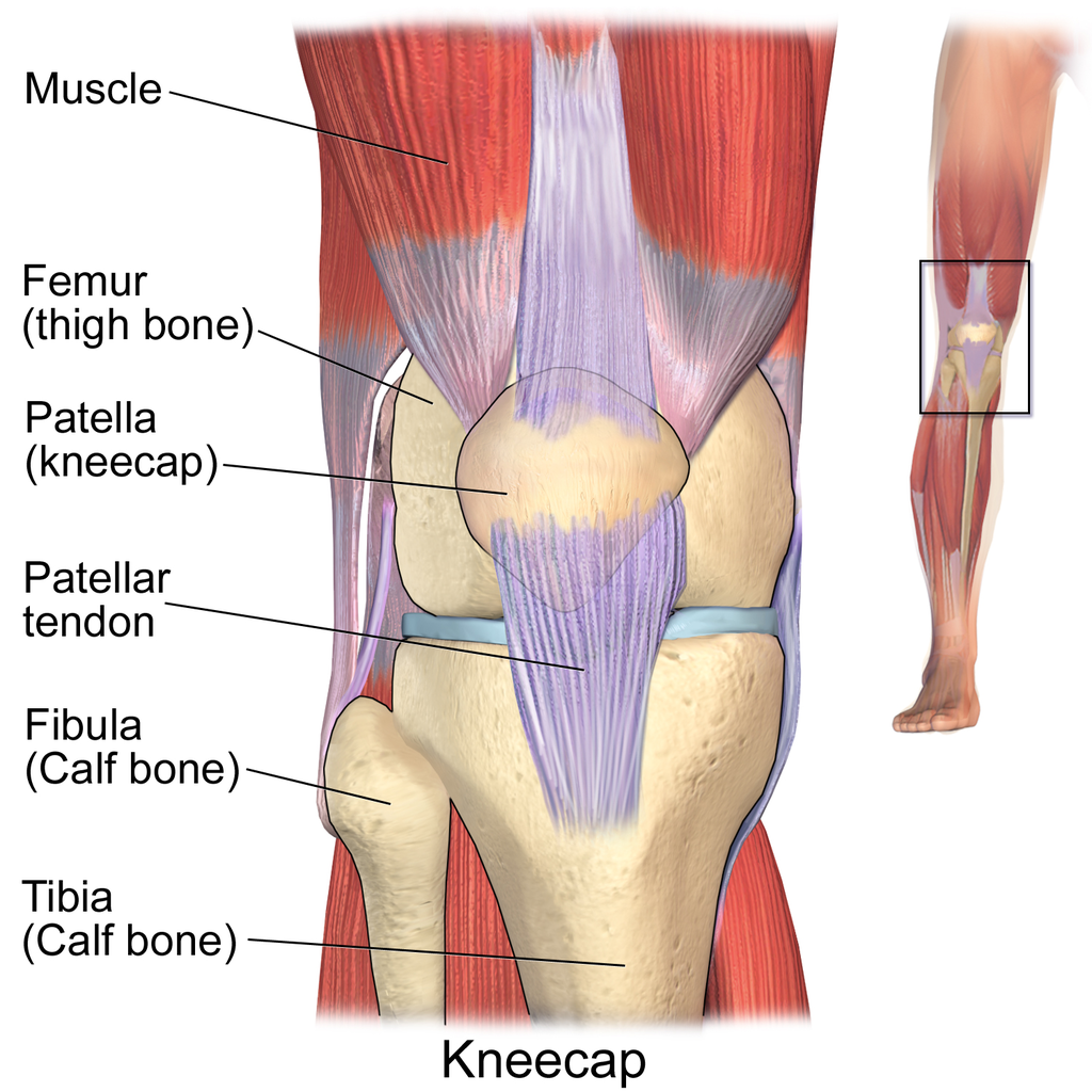 anatomy knee - Google zoeken | Art | Pinterest | Anatomy