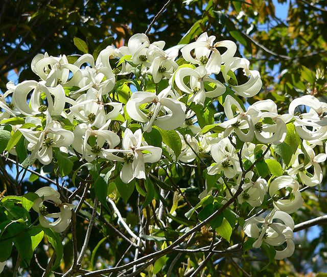 Magic Dogwood Cornus Florida Ssp Urbiniana Rare Dogwood Dogwood Trees Plant Sale