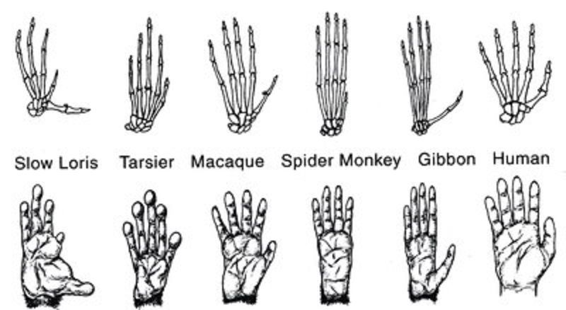 Anatomical Features Humans As Primates Apes Monkeys Primates