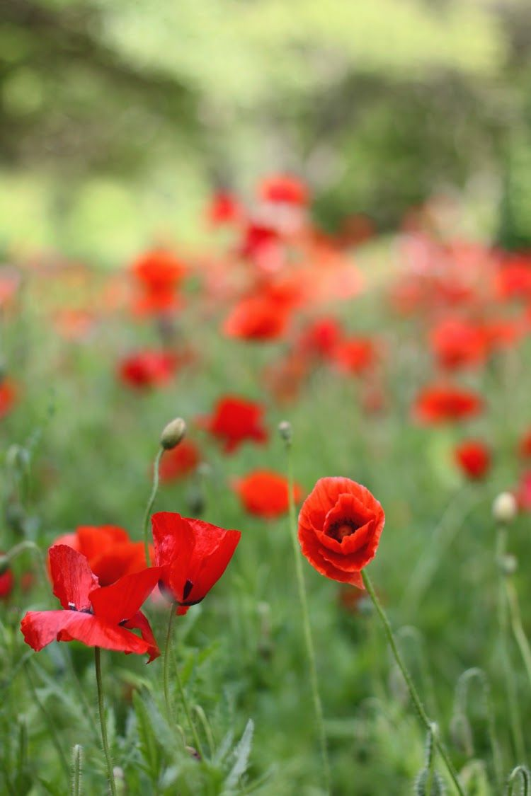 Wild Poppies Flowers Pinterest Wild Poppies Flowers And Gardens