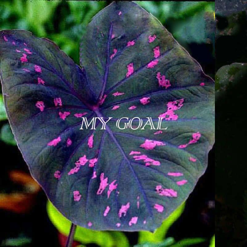200Pcs Neon Pink Spots Elephant Ear (Rubicundum) Color ...