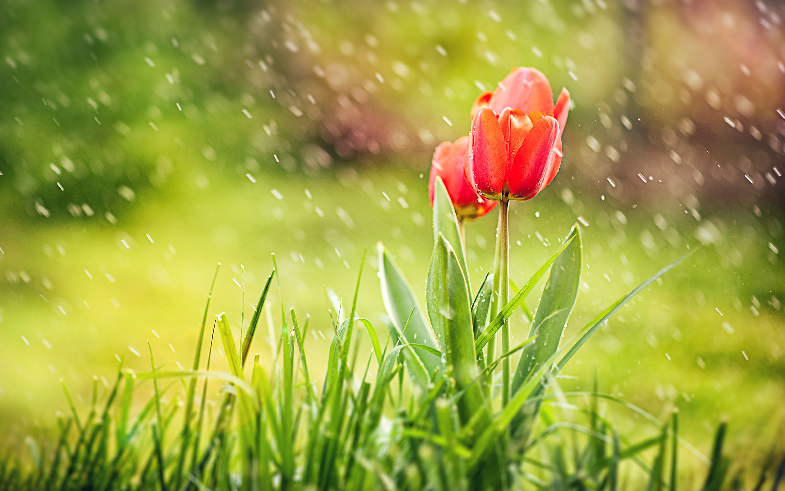 Red Tulip Rain Hd Wallpapers Red Flower Wallpaper Beautiful Flowers Wallpapers Rain Wallpapers