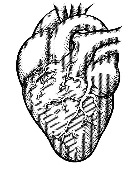 Vector human heart  Human Icons  $5 00 | Human Icons | Heart