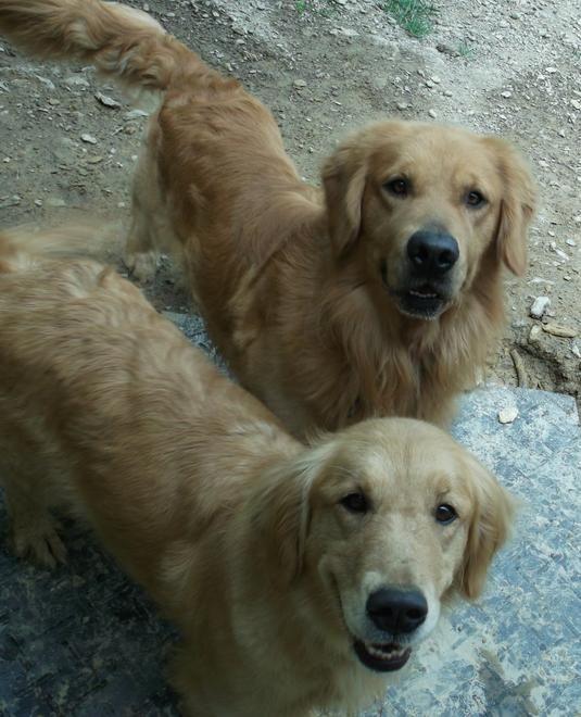 Akc Golden Retriever Puppies For Sale Georgia Golden Retriever Retriever Puppy Siberian Cats For Sale