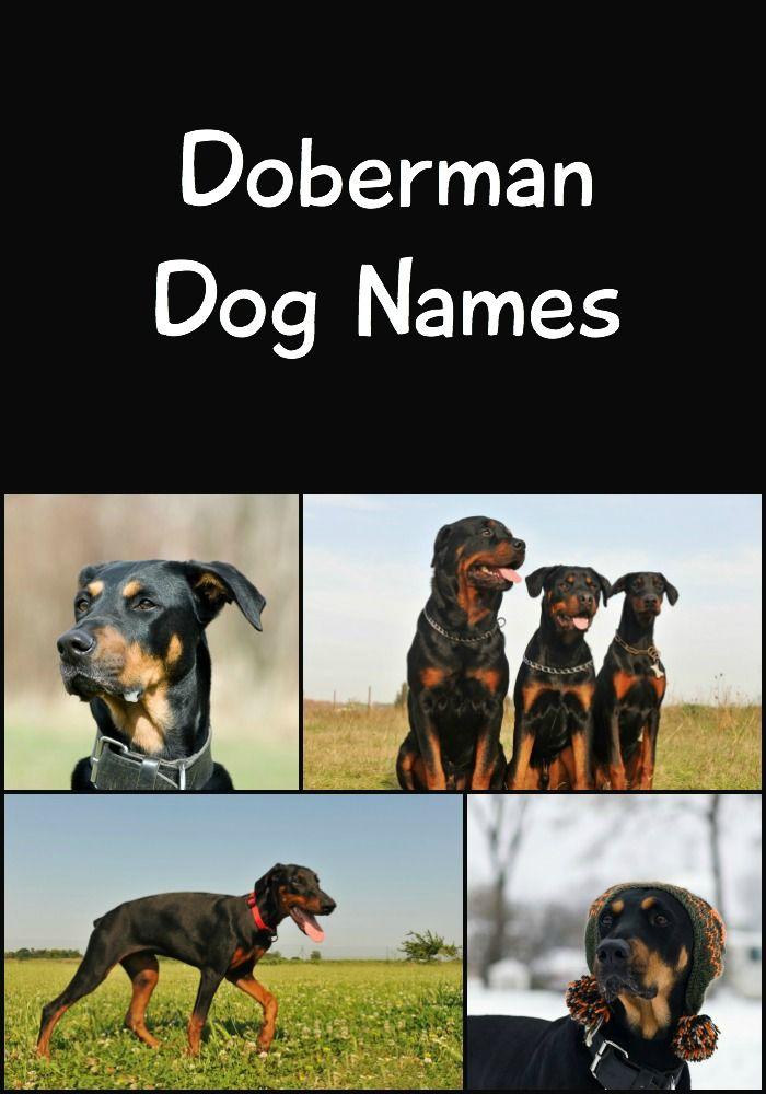 141 Perfect Doberman Names Cute Tough Tenacious More
