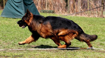 House Barrett Introduces Red Brown Long Haired German Shepherds And The Long Coated German With Images Long Coat German Shepherd German Shepherd Dogs Sable German Shepherd