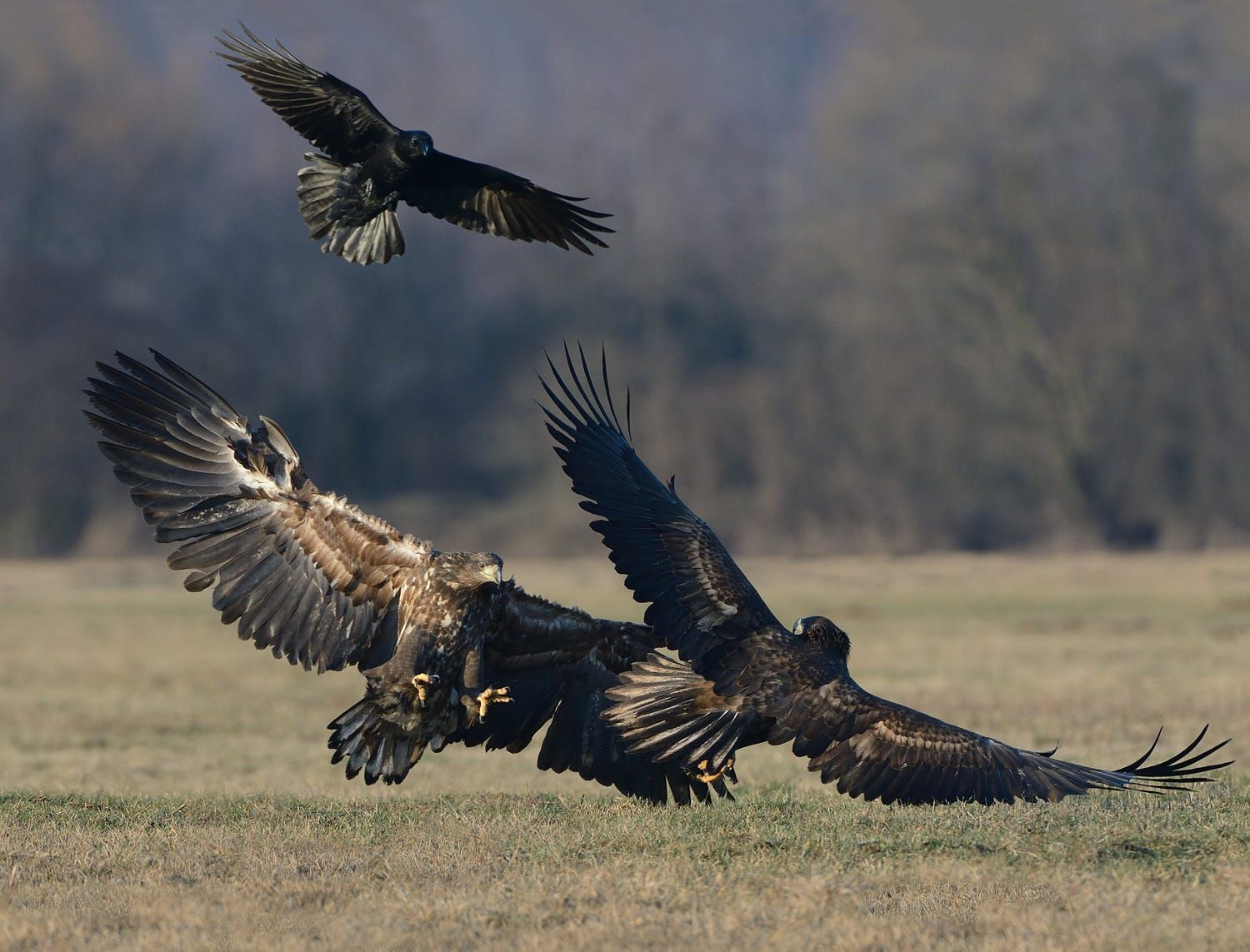 Raven with Eagles.