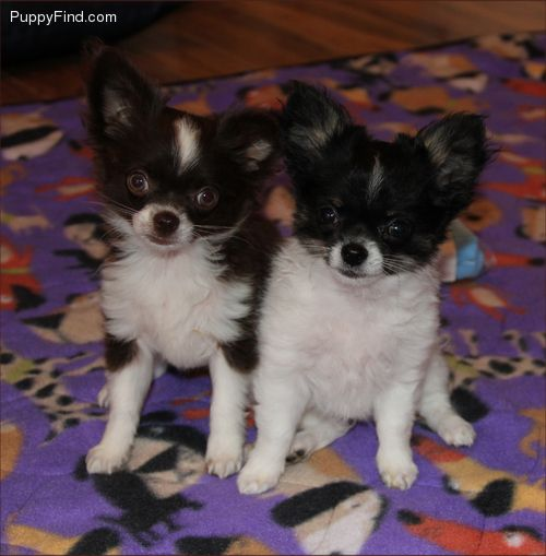Pin By Brenda Cruce On Pets Chihuahua Puppies Pets