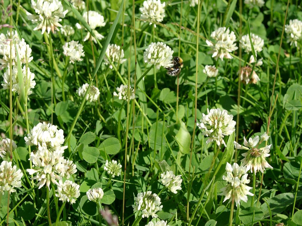 Killing White Clover How To Control White Clover In Lawns And