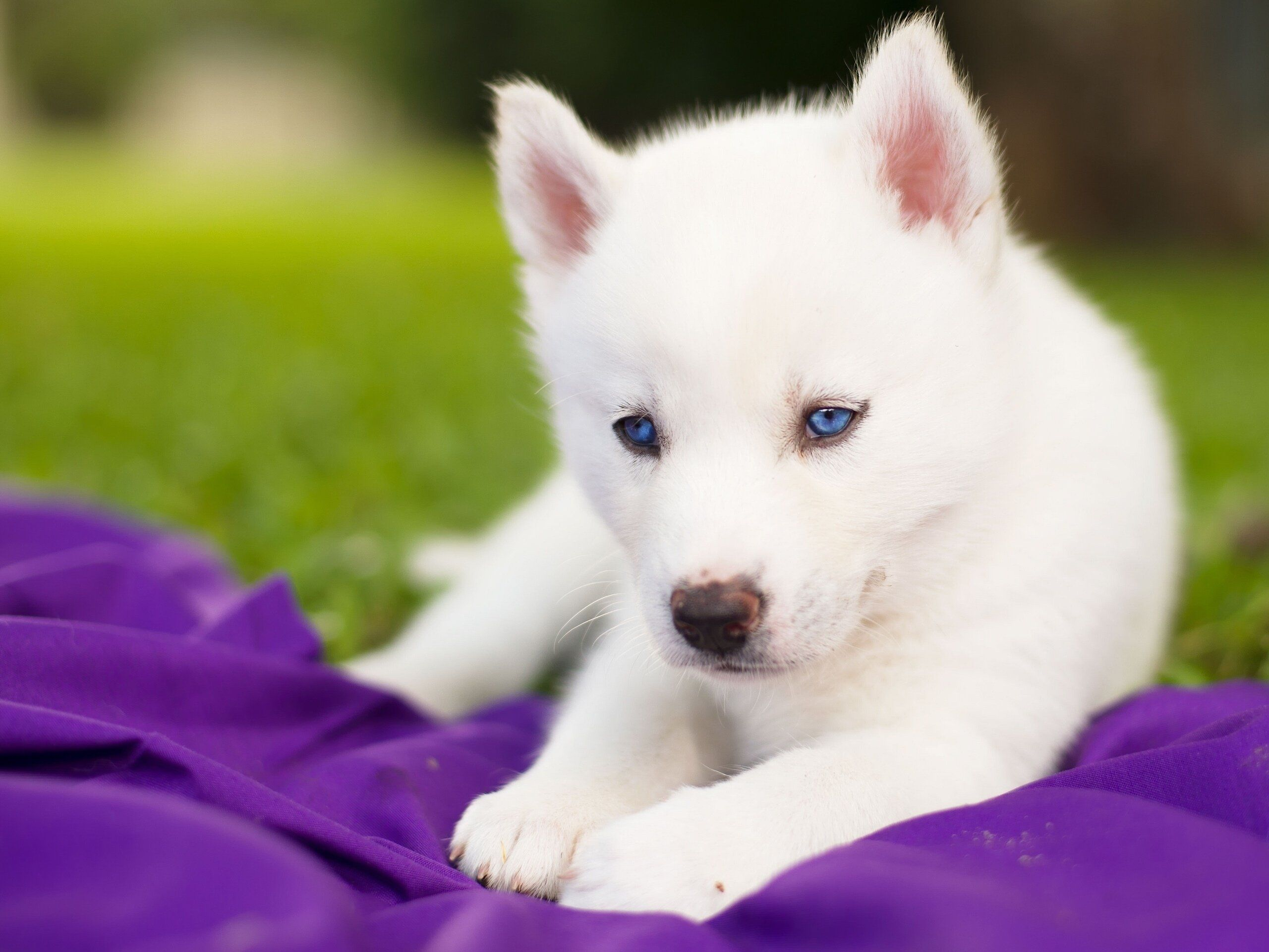 Why Use Dog Clickers White Husky Puppy Husky Puppy Cute Dogs