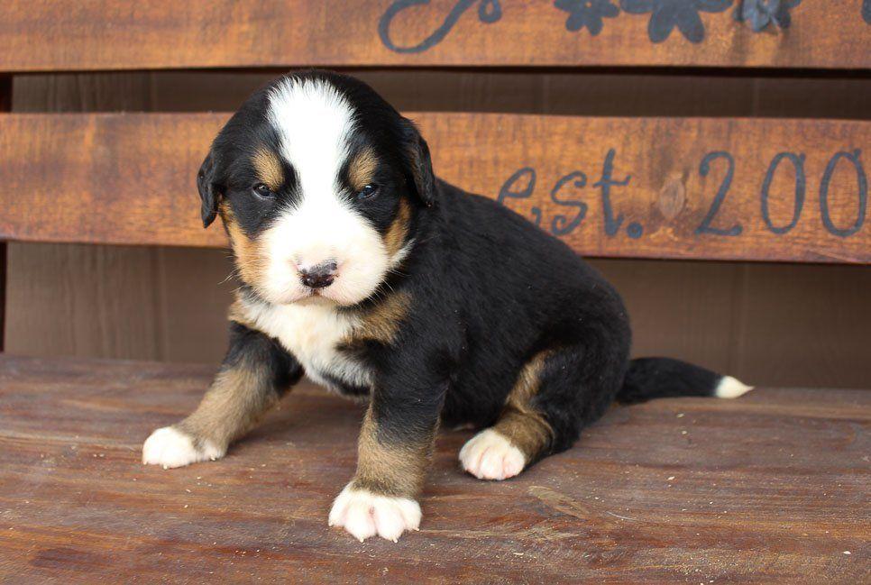 Jackson Vip Puppies In 2020 Puppies Near Me Puppies Puppy Finder