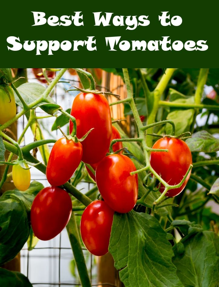 Best Ways To Support Tomatoes With Images Growing 400 x 300