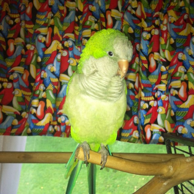 Quaker Parrot!