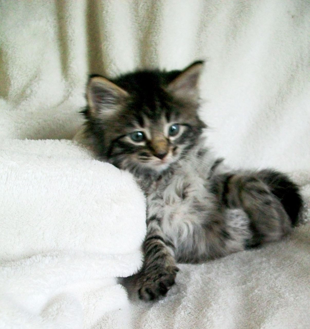 Maine Coon Cross Bengal Kittens | Kitties | Pinterest | Bengal ...