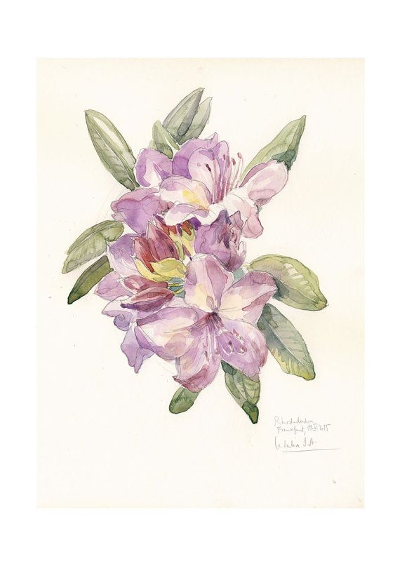 Rhododendron flowers painting Botanical Poster, watercolor drawing. Mauve violet flowers, botanical art by Catalina.