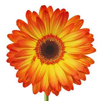 Flaming Bursts Of Fire Gerbera Flower Fiftyflowers Com Gerbera Flower Daisy Painting Flower Drawing