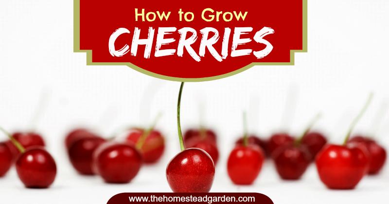 How To Grow Cherries How To Grow Cherries Growing Cherry