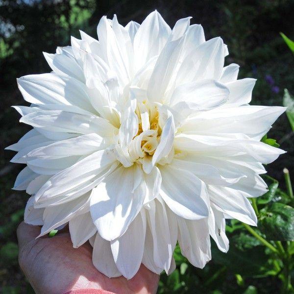 Dahlie \'White Perfection\' - eine perfekte, weiße Dahlie. Toll im ...