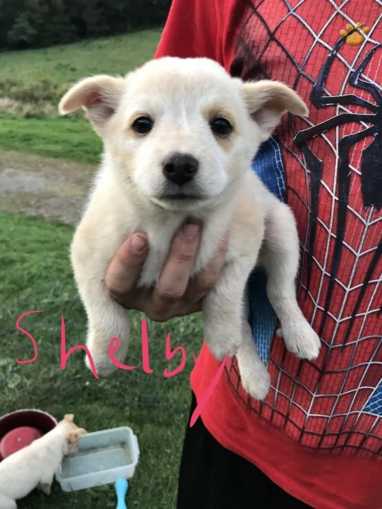 Shelby Australian Cattle Dog Puppy For Sale In Meyersdale Pa Lancaster Puppies Cattle Dog Puppy Australian Cattle Dog Puppy Cattle Dog