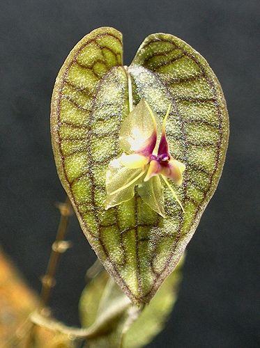Lepanthes saltatrix By Mikaels orchids Mikael