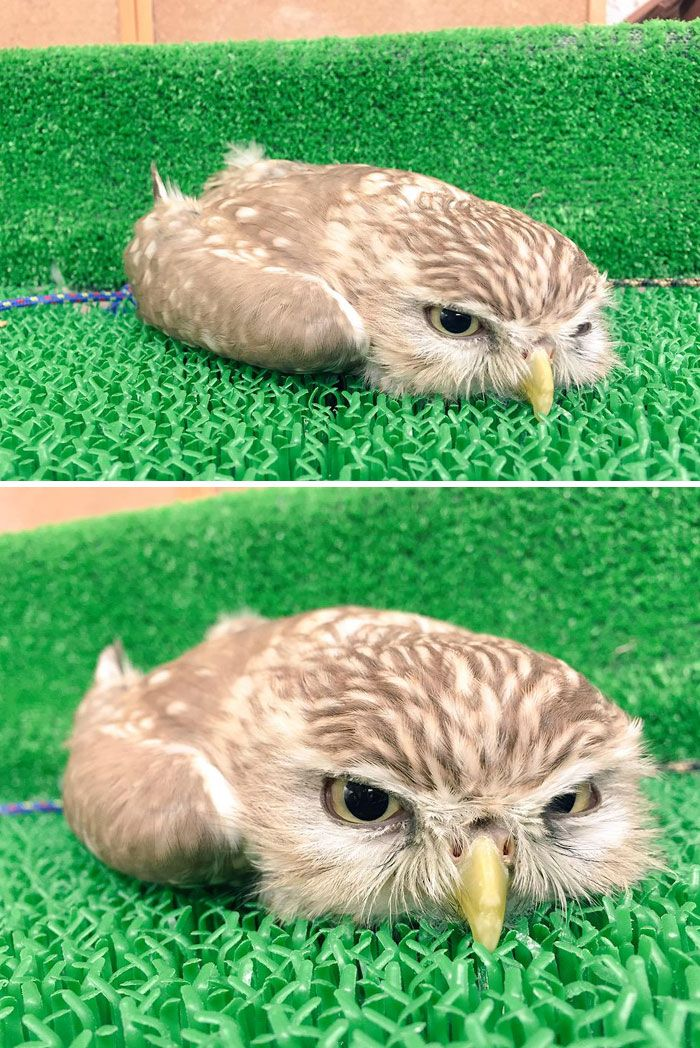 Sleeping Baby Owls Face Down In 2020 Owl Baby Owls Take A Nap