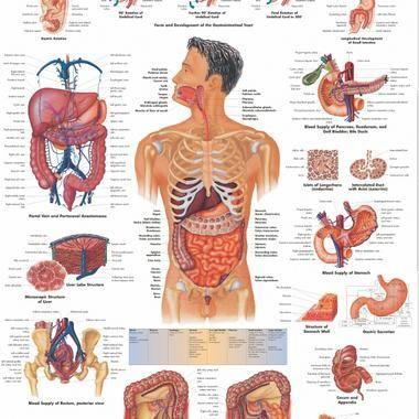 Afbeeldingsresultaat voor organen mens | Anatomy | Pinterest