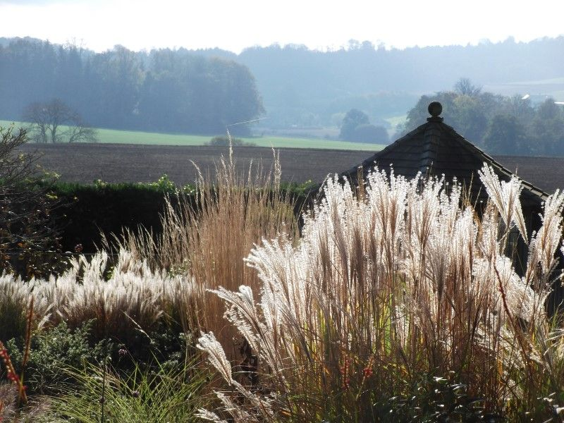 backlit Miscanthus in Hinton St Gardens can still