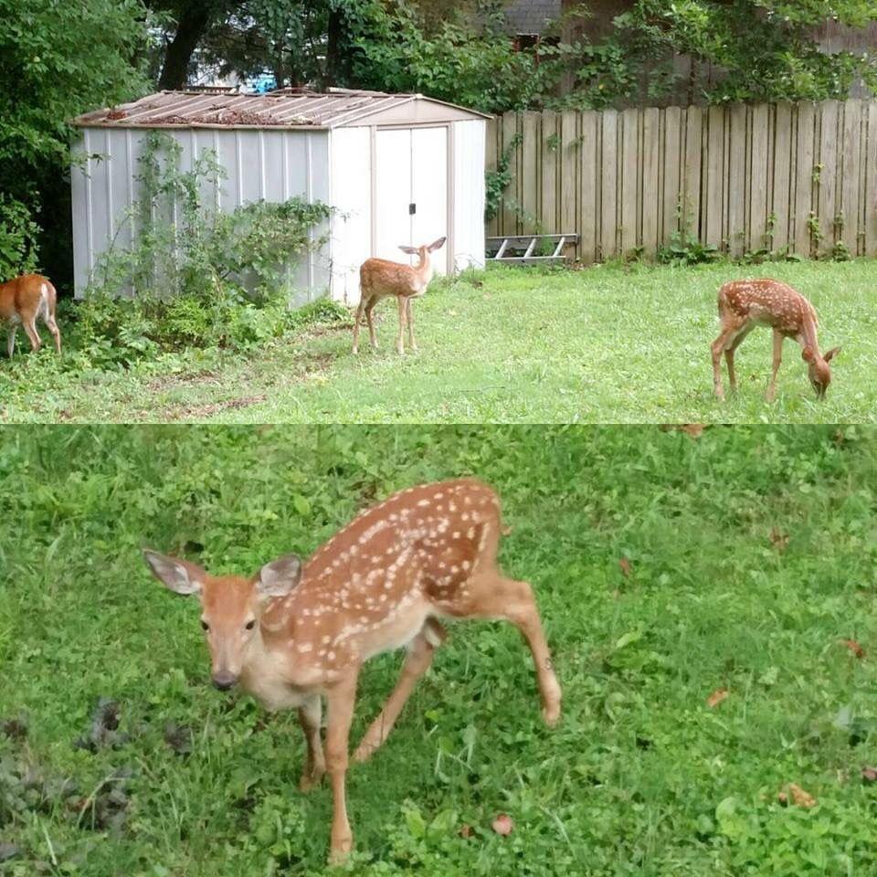 Backyard Deer Like Animals Wildlife Animals