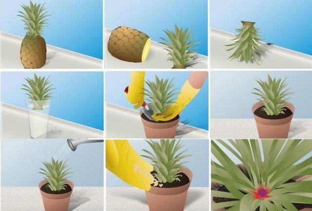 une idée simple pour faire pousser un ananas chez nous | chez soi