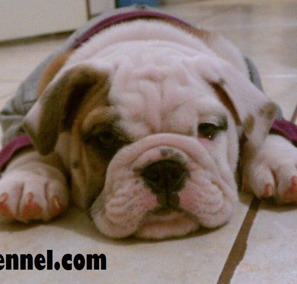 American Bulldog Puppy For Sale The French Bulldog Is So Famous