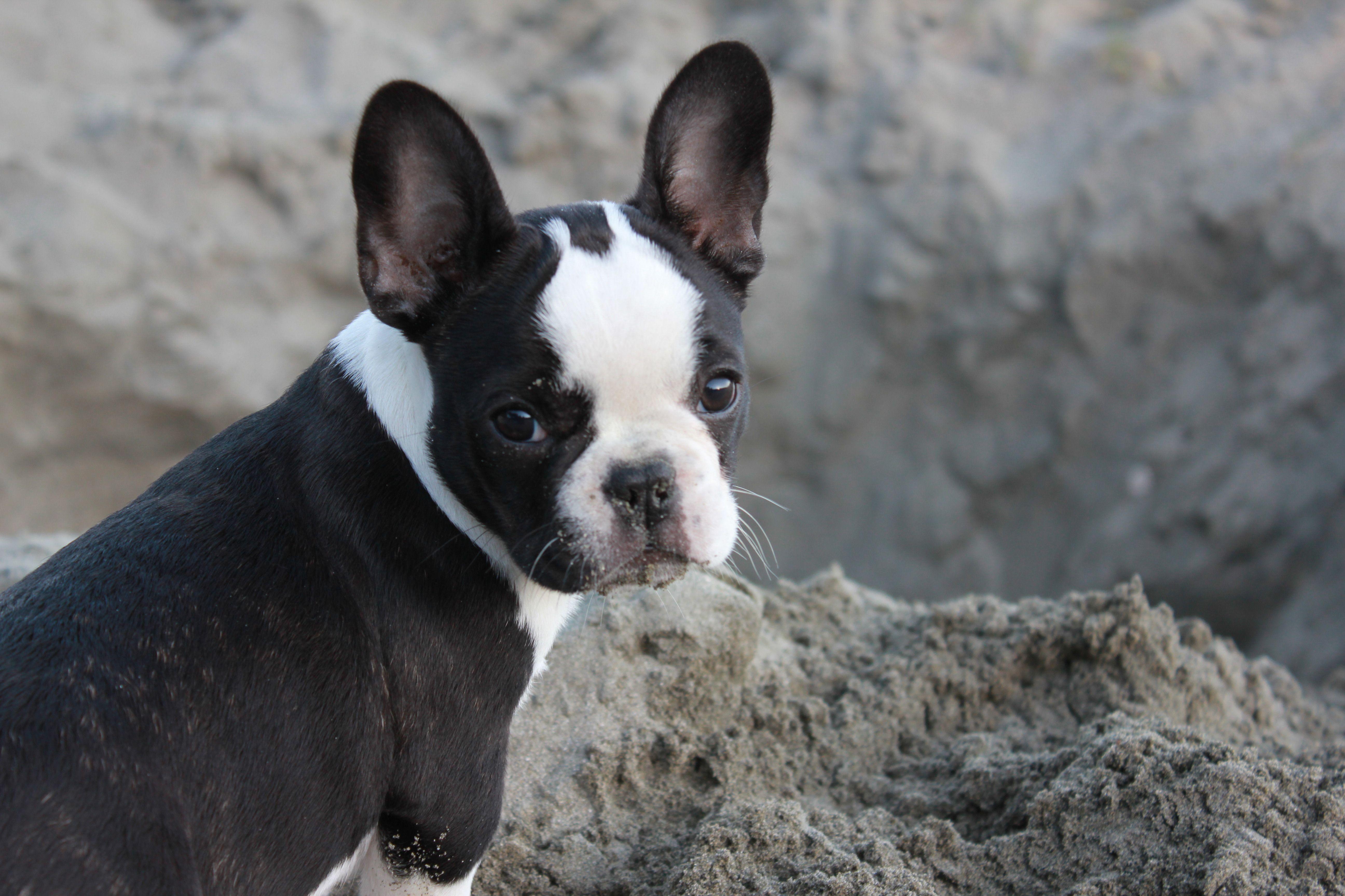 French Bulldog cross Boston Terrier Boston bull terrier