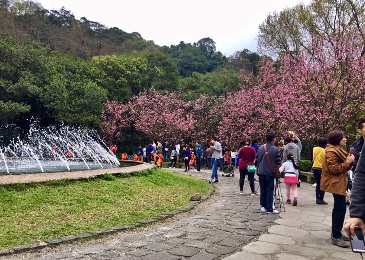 Cherry Blossom In Taiwan 2021 Forecast The Best Time 8 Best Places To See Cherry Blossoms In Taiwan Living Nomads Travel Tips Guides News Informat Places To See Travel Cherry Blossom