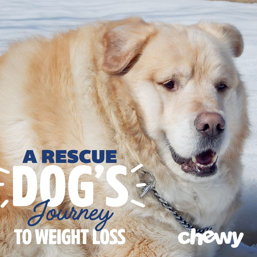 Obese Dog Rescued From Euthanasia Sheds Nearly Half His Body