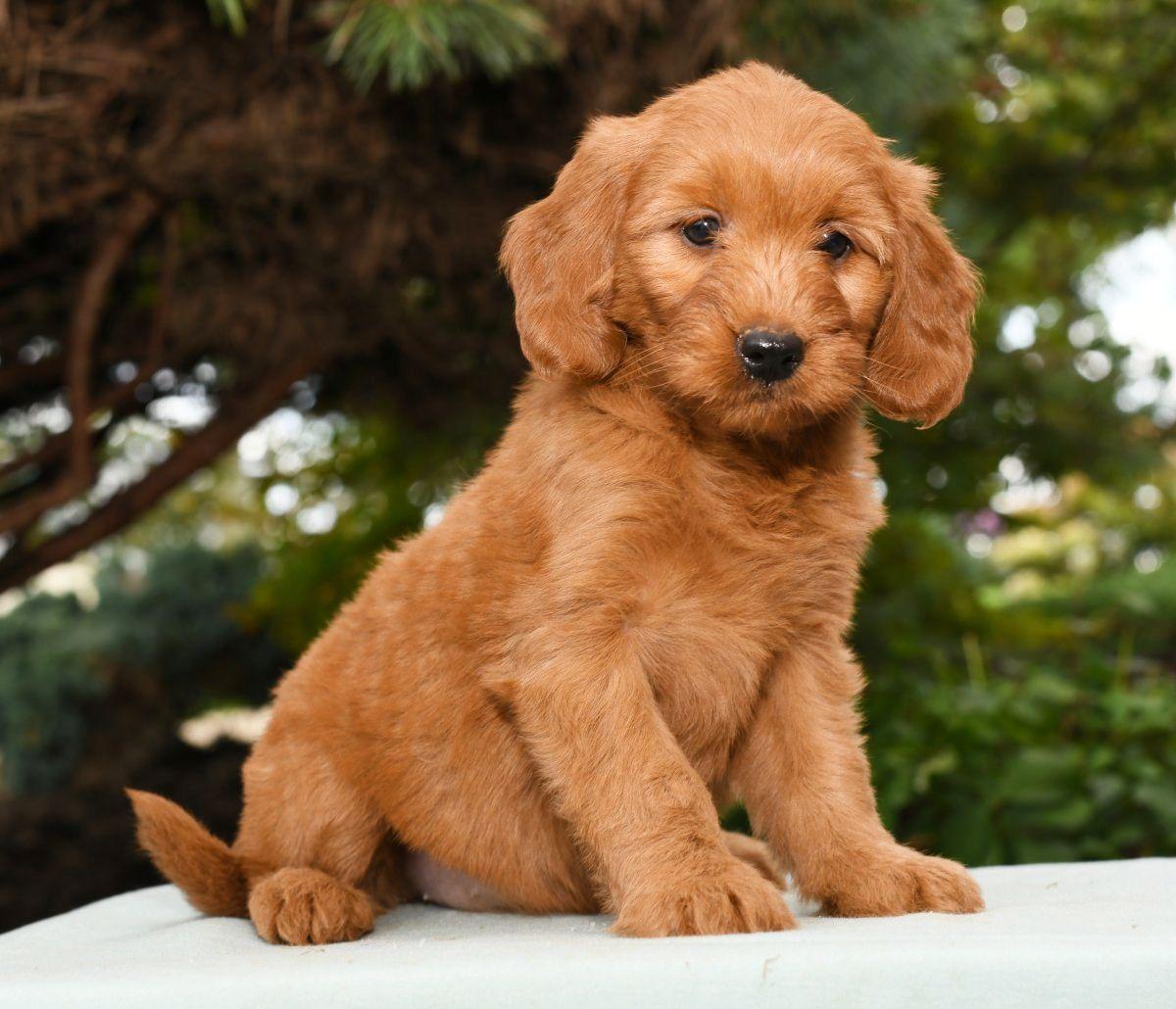 Friendly MiniGoldendoodle Mini goldendoodle puppies