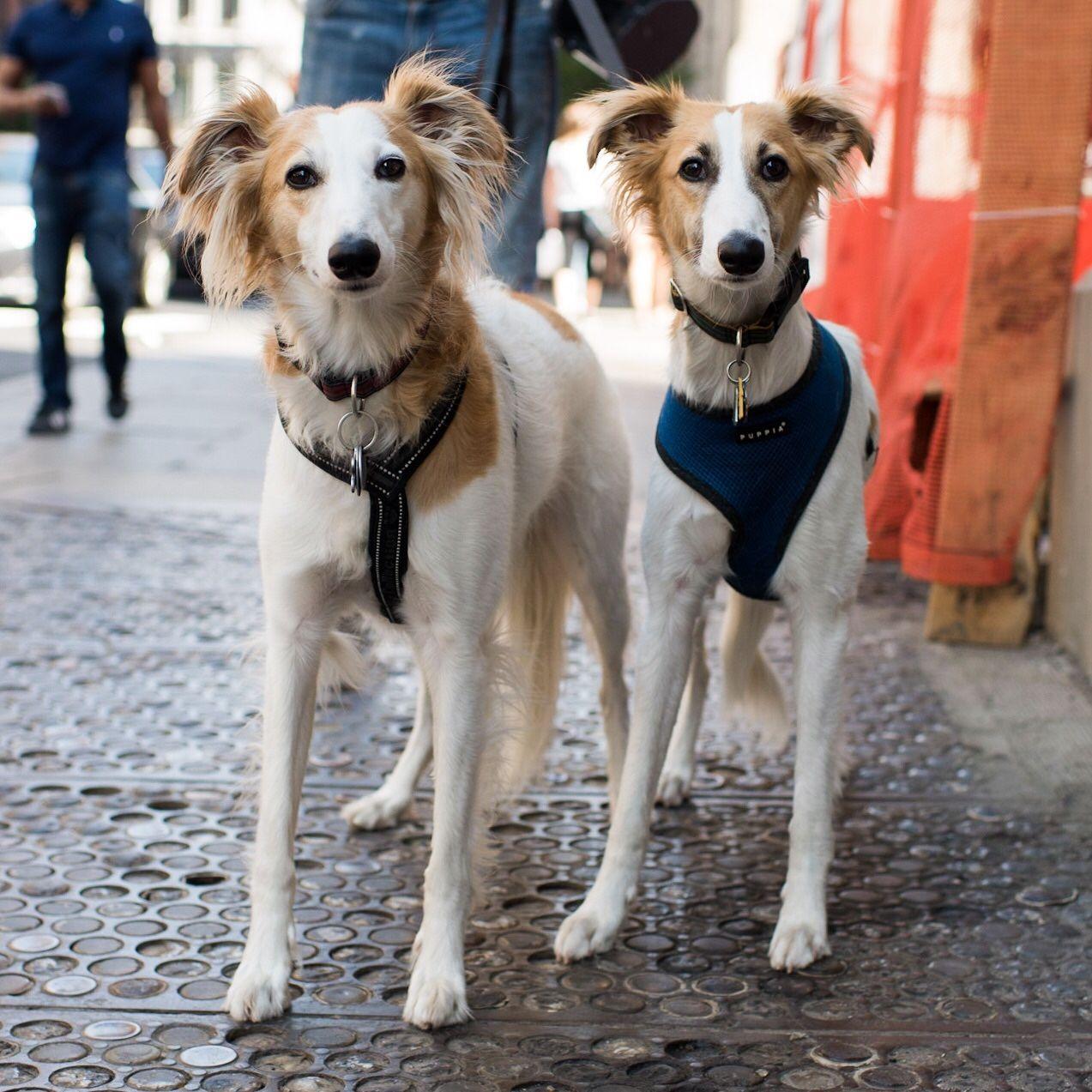 Thedogist Windhund Windhunde Hunde