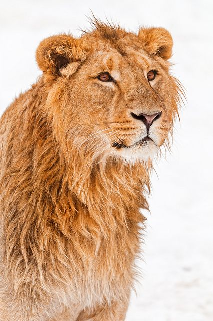 Young male lion in snow
