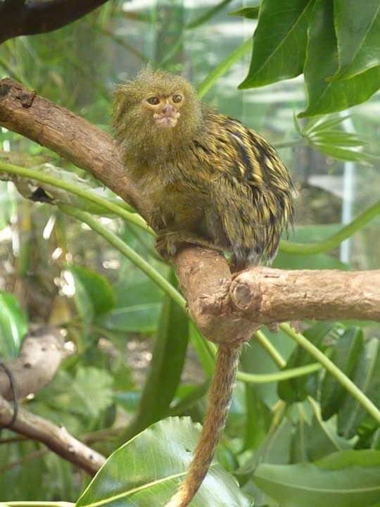 Golden Pygmy Marmoset