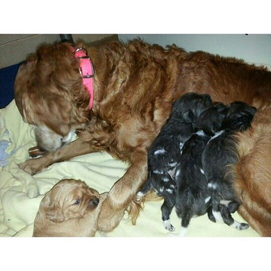 Golden Retriever Becomes Surrogate Mother To Endangered Wild Dogs