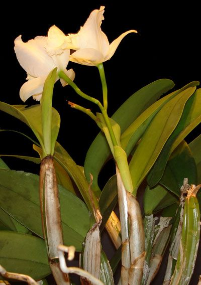 Bloom Cycle Of Cattleya And How To Care For Them At Various Times Cattleya Orchid Orchid Care Cattleya