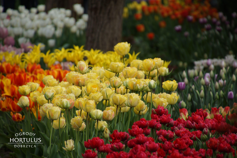 Tulipany W Ogrodzie Wiosna W Ogrodzie Ogrod Wiosna Wiosenna Pora Kolorowy Ogrod Kwiaty Plants