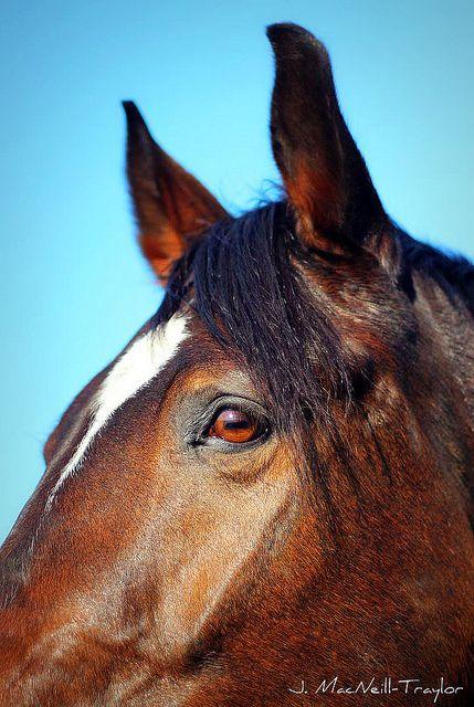 beautiful bay warmblood horse