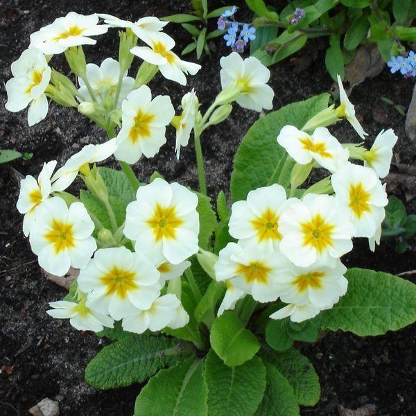 Pierwiosnek Uprawa Pielegnacja Wymagania Primula Close Image Plants
