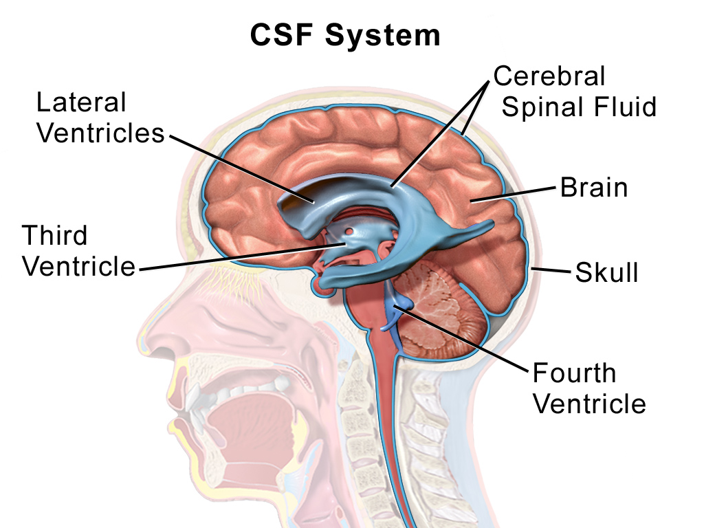 Illustration of CSF system | - Neuroscience - | Pinterest ...