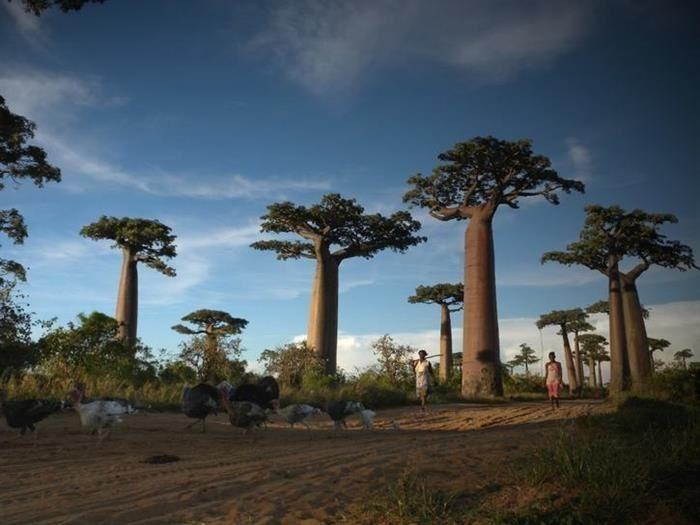 La Avenida o Callejón de los árboles botella, puede ser apreciado en el camino de tierra que va entre las ciudades de Morondava y Belon'i Tsiribihina, en la región de Menabe al oeste de Madagascar. A pesar de que estos bellos árboles pueden llegar a vivir hasta 800 años de edad, sólo quedan en pie entre 20 a 25 individuos de esta especie, debido a la deforestación masiva.