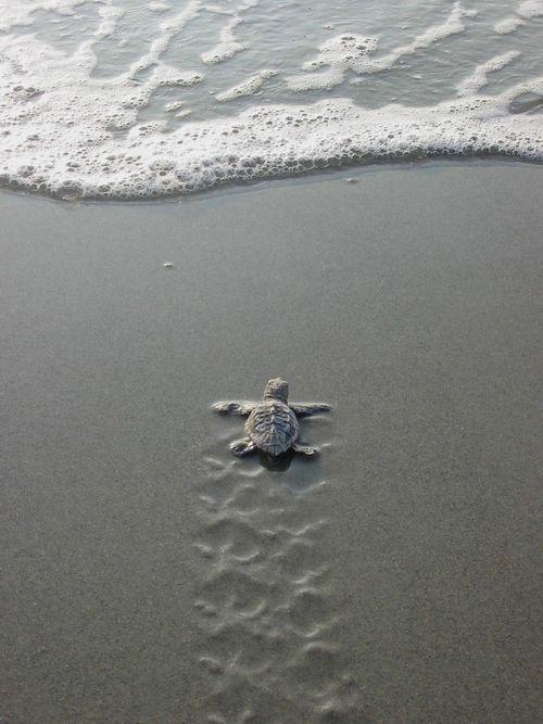 Flirp flirp flirp flirp baby sea turtles turtle and animal flirp flirp flirp flirp turtle babybaby sea publicscrutiny Gallery