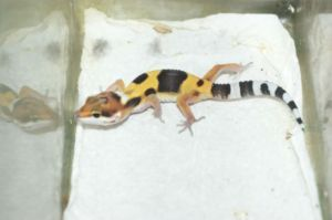 Leopard Gecko Babies Calgary Pets For Sale Kijiji Calgary Canada Pets For Sale Leopard Gecko Finding A House