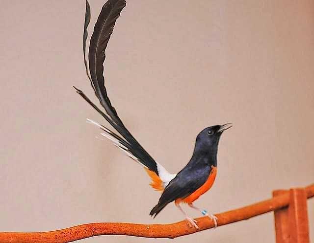 Harga Murai Batu Lampung Harga Murai Batu Anakan Harga Murai Batu Medan Super Murai Batu Air Harga Murai Batu Termahal Harga Mu Burung Burung Cantik Murai